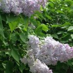 Lilac Festival on 5/25 plus tours other times of the Wentworth-Coolidge Mansion – Historic Site, Portsmouth
